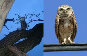 Cat lookalikes: Lookalike cat: Percy the owl