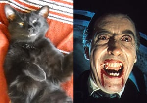 Cat lookalikes: Lookalike cat: Ronan as Christopher Lee