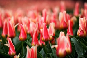 Floriade: A tulip field at Floriade