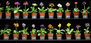2012 Chelsea flower show: Auricula plants, all in a row