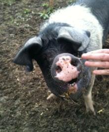 Samphire pig Sally-Anne