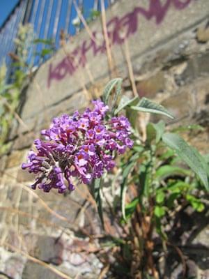 Buddleja: Buddleja bloom close up