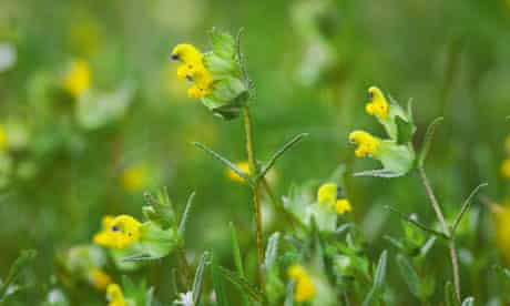 Yellow rattle (Rhinanthus minor)