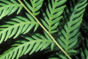 Ferns: Giant chain fern (Woodwardia fimbriata)