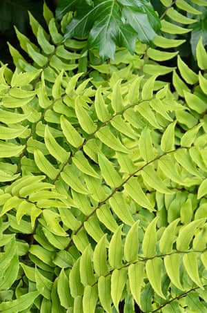 Ferns: Japanese holly fern (Cyrtomium fortunei)
