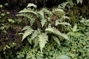 Ferns: Scottish bladder fern (Cystopteris fragilis)