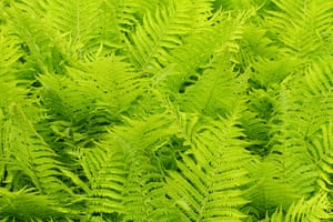 Ferns: Dryopteris filix-mas