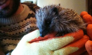 Tom Cox with an injured hedgehog