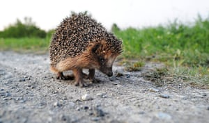 Hedgehogs: A hedgehog sits on a track