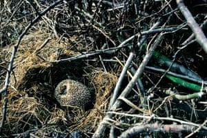 Hedgehogs: Hedgehog hibernating