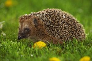 Hedgehogs: Hedgehog in a meadow