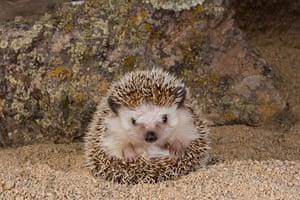Hedgehogs: A pygmy hedgehog