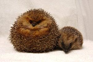 Hedgehogs: A fat hedgehog