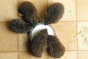 Hedgehogs: Baby hedgehogs
