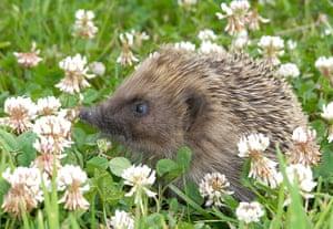 Hedgehogs: A hedgehog in a field