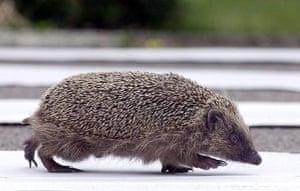 Hedgehogs: A hedgehog crosses a road