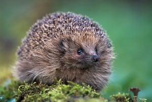 Hedgehogs: A hedgehog in Scotland