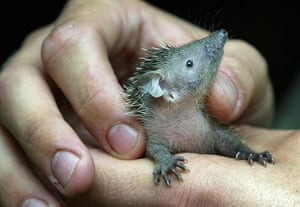 Hedgehogs: A baby lesser hedgehog tenrec