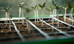 Seedlings growing in a module tray