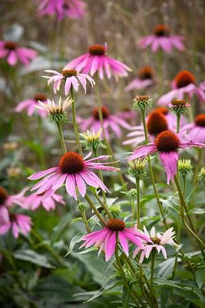Prairie garden: Echinacea purpurea