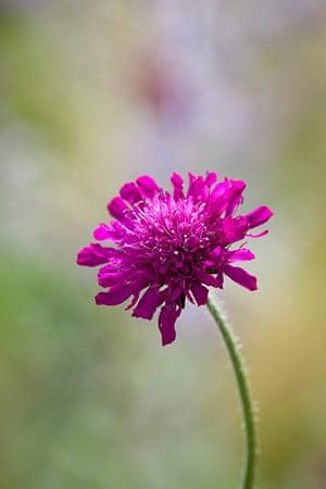 Prairie garden: Knautia macedonica