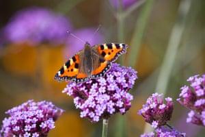 Prairie garden: Butterfly on Verbena bonariensis