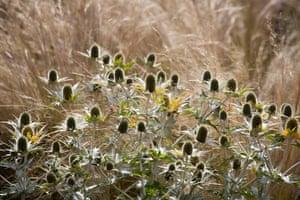 Prairie garden: Eryngium giganteum 'Miss Willmott's Ghost' with Stipa tenuissima
