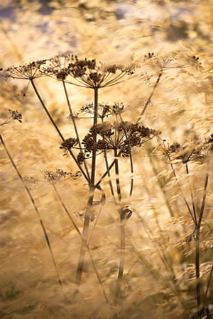 Prairie garden: Cow parsley seedhead amongst Stipa gigantea