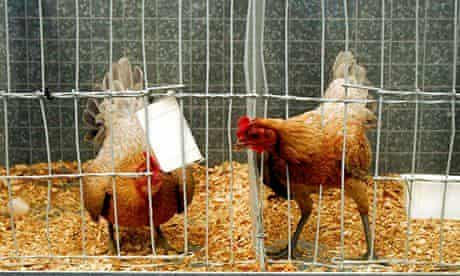 Chickens on display at an agricultural show