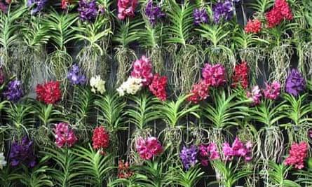 A wall of vanda orchids at Kew gardens' orchid extravaganza 2013