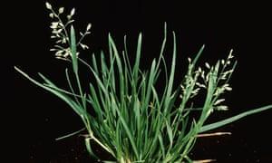 Annual meadowgrass (Poa annua)