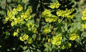 Wood spurge (Euphorbia amygdaloides)