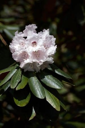 Rhododendron falconeri ssp eximium