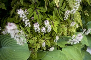 Living wall: Tiarella ' and hosta growing on the living wall