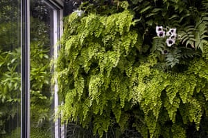 Living wall: Adiantum raddianum and miltonia orchids