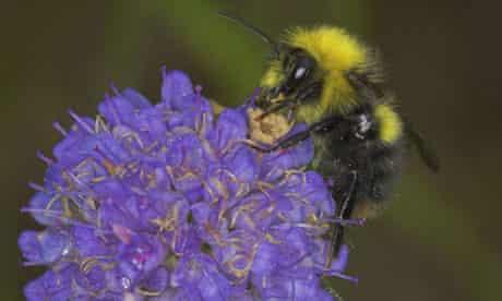 The early bumblebee (Bombus pratorum)