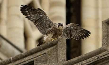 Peregrine falcon at Norwich Catherdral