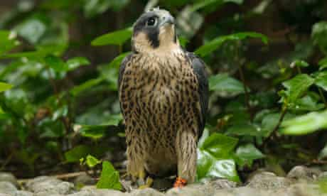 A Peregrine perusing at Norwich Cathedral
