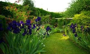 Irises in Tom Hoblyn's garden