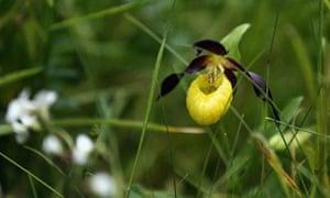 The lady's slipper orchid (Cypripedium calceolus)