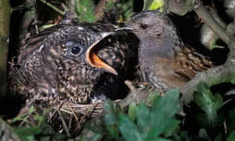 A dunnock (Prunella modularis) sharing a nest with a cuckoo (Cuculus canorus) chick
