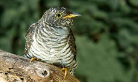 A young cuckoo (Cuculus canorus) perched on a branch