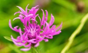 Lesser knapweed (Centaurea nigra)