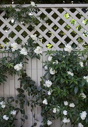 Tiny courtyard garden: Rosa banksiae 'Alba Plena'