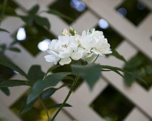 Tiny courtyard garden: Rosa banksiae var banksiae