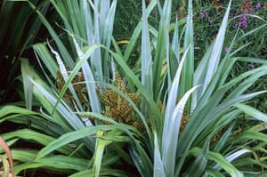 New Zealand plants: Astelia chathamica