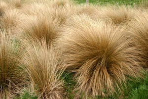 New Zealand plants: Golden red tussock grass
