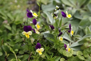 Floral lawn: Viola tricolor
