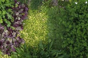 Floral lawn: Ajuga 'Burgundy Glow', Mazus reptans, Cotula hispida, Lotus maculatus