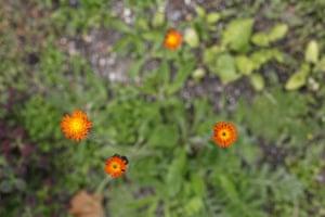 Floral lawn: Hieracium aurantiaca